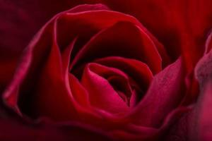 belle rose rosse, primo piano
