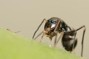 primo piano gigante del ragno saltatore simile a una formica