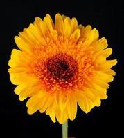 primo piano di un fiore giallo isolato su uno sfondo nero foto