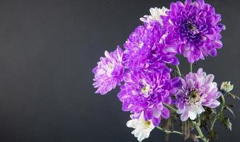 crisantemi viola e bianchi su sfondo nero con spazio di copia