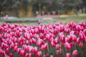 campo di tulipani rosa
