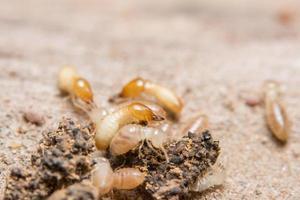 termiti, foto in primo piano