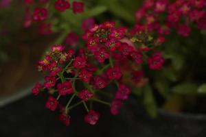fiori rosa scuri in giardino