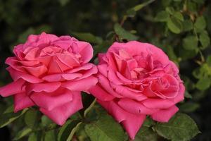 due bellissimi fiori rosa