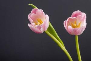 due tulipani rosa isolati su uno sfondo nero foto