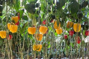 piante di peperone