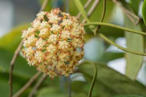 fiori hoya, foto ravvicinata