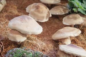 funghi shiitake freschi