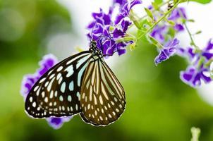Close up blue tiger butterfly o tirumala hamata