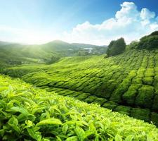 piantagione di tè cameron highlands, malesia