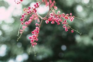 fiori rampicanti messicani