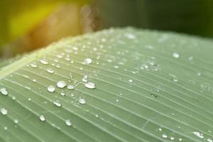 gocce di rugiada su foglie di banana