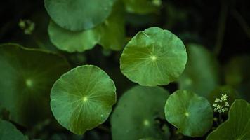 foglie verdi di centella asiatica
