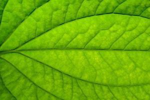primo piano di una foglia verde
