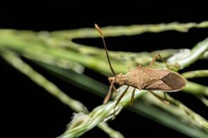 bug assassino marrone su una pianta