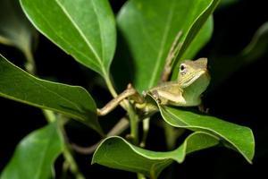 camaleonte sull'albero, primo piano