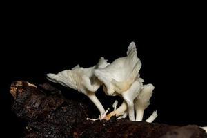 primo piano del fungo bianco foto