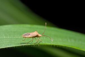 bug assassino marrone su un fiore