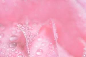gocce d'acqua sui petali di rosa