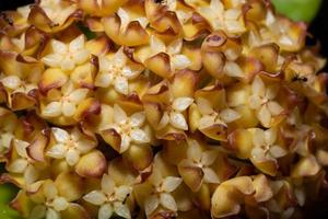 macro di fiori di hoya