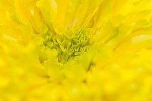 sfondo giallo fiore di calendula