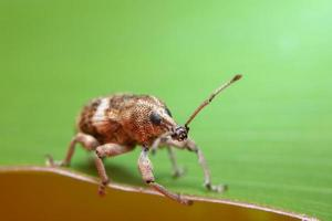 primo piano dello scarabeo di foglia foto
