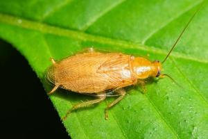 scarafaggio tedesco su una foglia