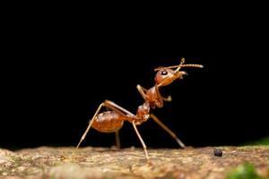 formica, foto in primo piano