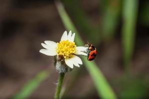 coccinella su un fiore