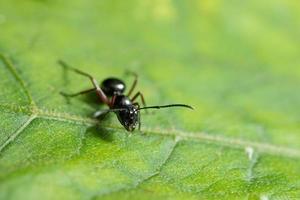 formica su una foglia