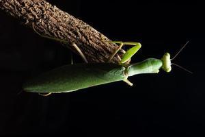 mantide verde su un ramo