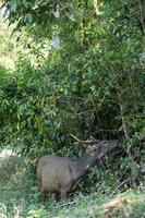 cervo sambar nel parco nazionale khao yai