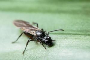 formica con le ali, primo piano foto