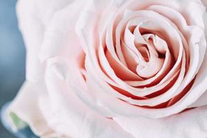 primo piano di una rosa rosa foto