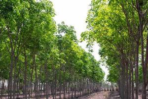fila di alberi di gomma agricoli. hevea brasiliensis foglie verdi sfondo foto