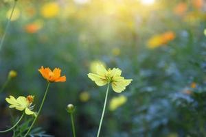 cosmo giallo e arancio