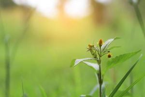 fiore di erba con sfocatura dello sfondo della natura.