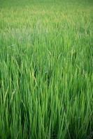 primo piano del campo di riso verde giallo