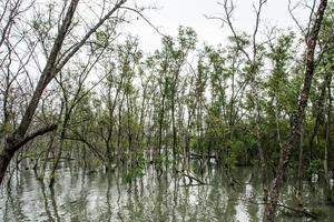 foresta di mangrovie in thailandia foto