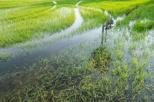 campo di riso in estate
