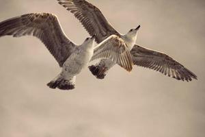 una cattura di gabbiani in volo foto