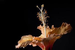 primo piano del fiore di ibisco foto