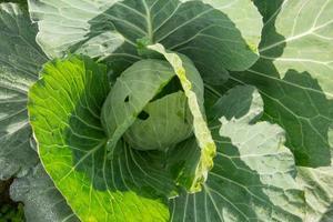 cavolo nella fattoria di verdure in estate foto