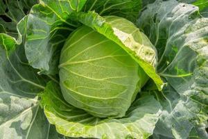 cavolo in una fattoria di verdure foto