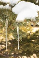 ghiaccioli sull'albero di pelliccia foto