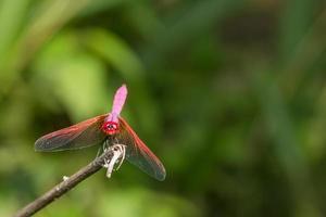 libellula rossa su sfondo verde foto