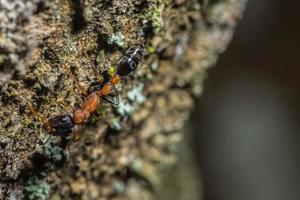 tetraponera rufonigra ant