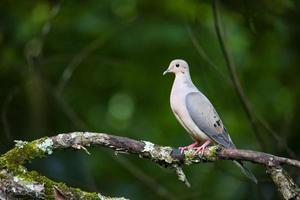 vista di profilo della colomba sul lembo di albero foto