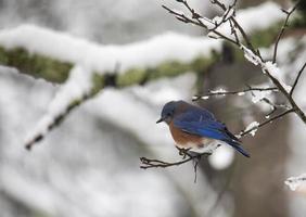 bluebird orientale appollaiato su un ramo innevato foto