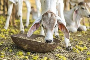 piccola mucca graziosa che mangia erba